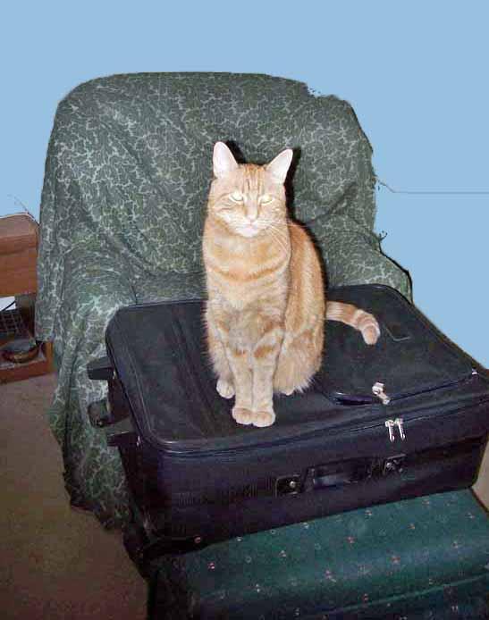 suitcase cat