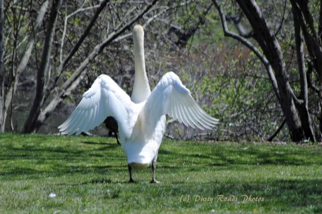 Glossy ibis 015 copy