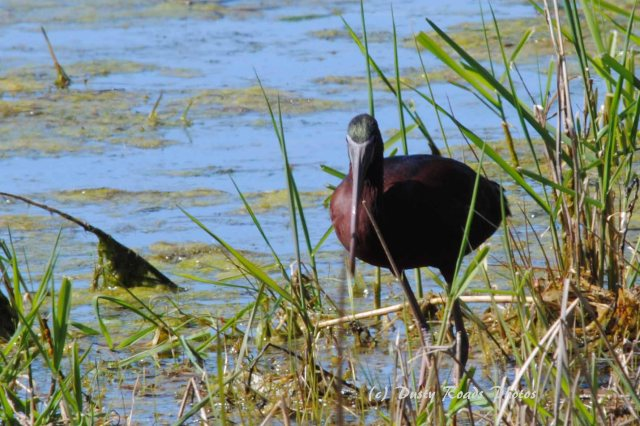 Glossy ibis 039 copy