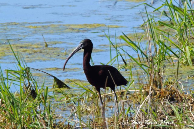 Glossy ibis 040 copy