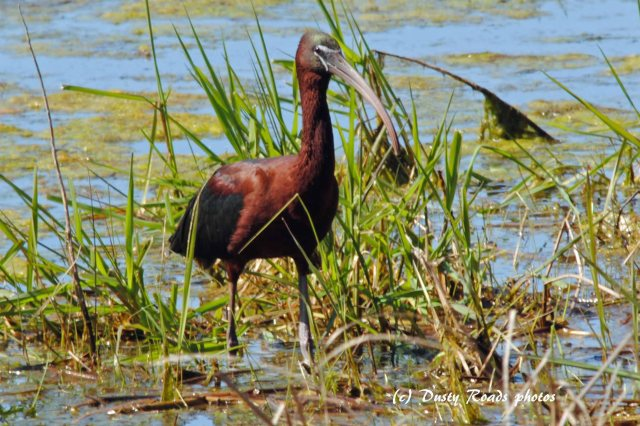 Glossy ibis 047 copy