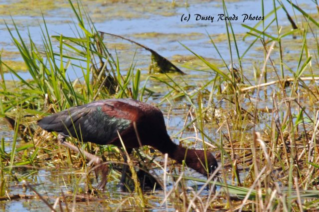 Glossy ibis 050 copy