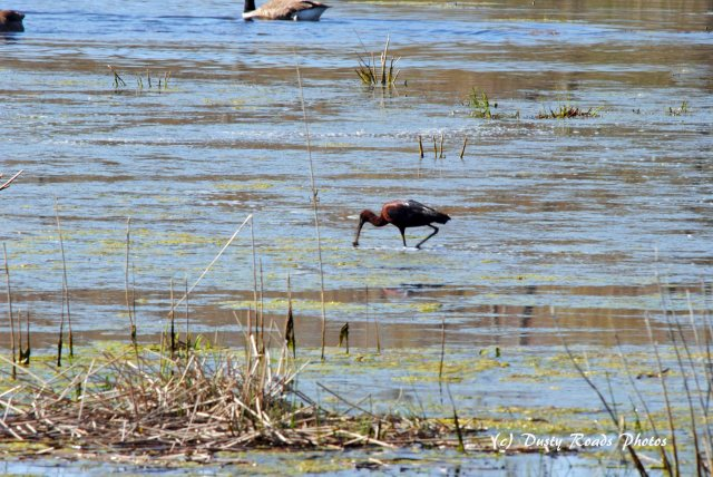 Glossy ibis 068 copy