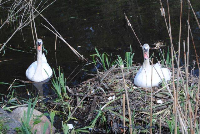 Swans 001 copy