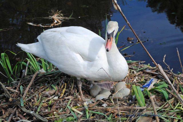 Swans 005 copy