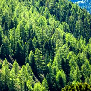 20091027_sitka_spruce