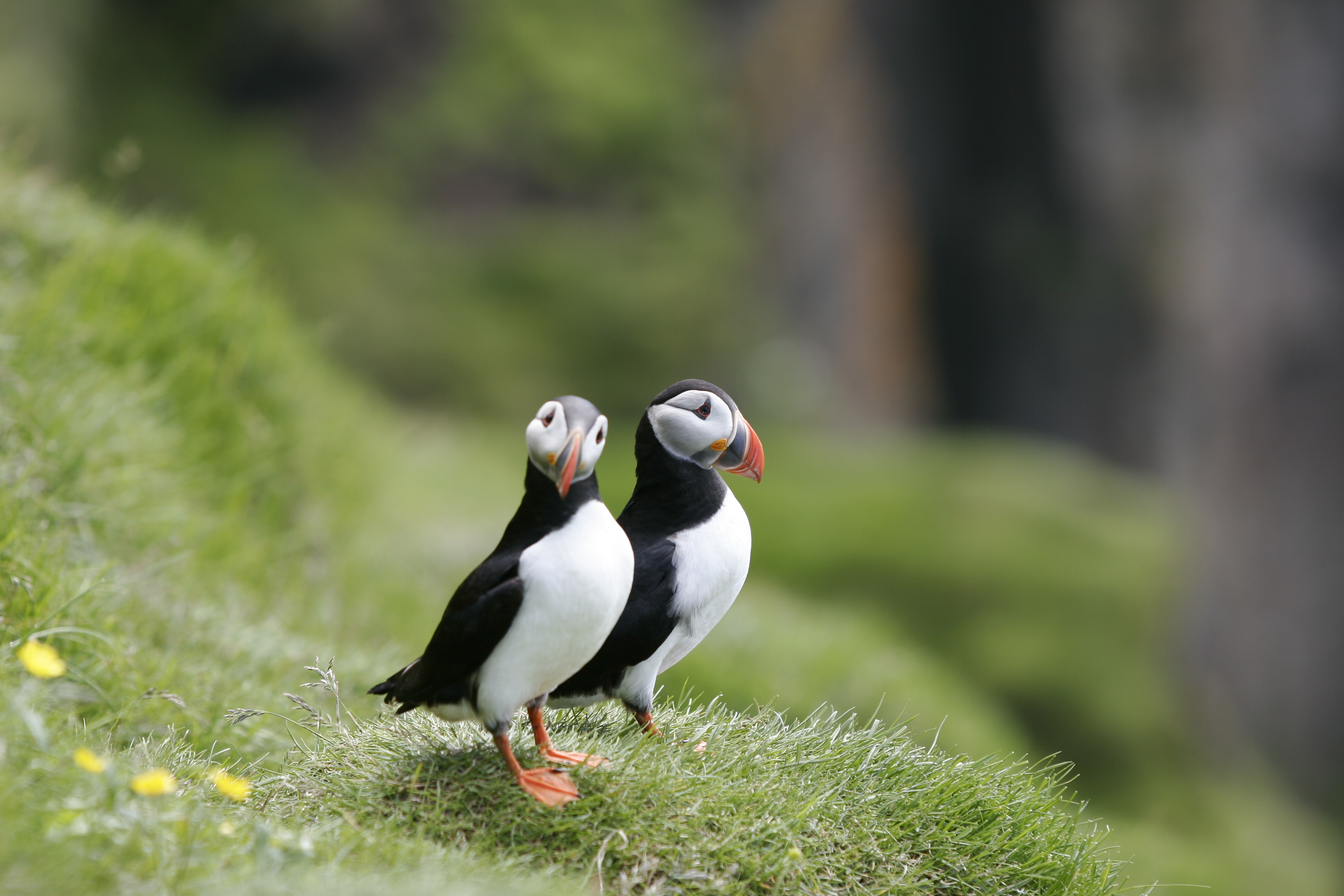 puffins birds research papers Puffin island is an island off the bangor university and the royal society for protection of birds current participants in research at puffin island.
