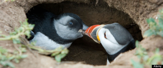 Parent Puffin feeding baby puffin chick. (have a look at my other puffin photos, click on my name). Image shot 07/2008. Exact date unknown.