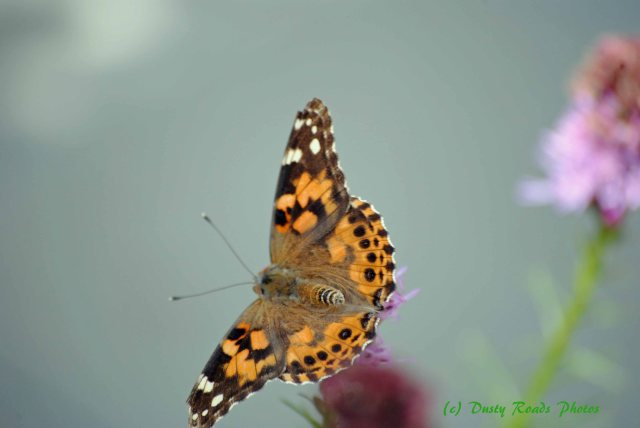 Butterflies cape Cod Canal 007 copy