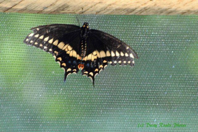 Butterflies cape Cod Canal 011 copy