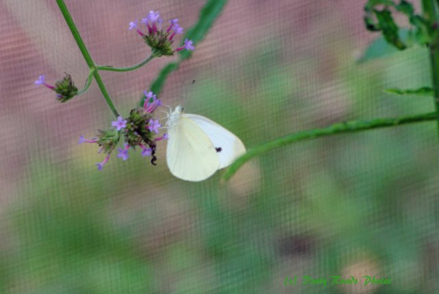 Butterflies cape Cod Canal 014 copy