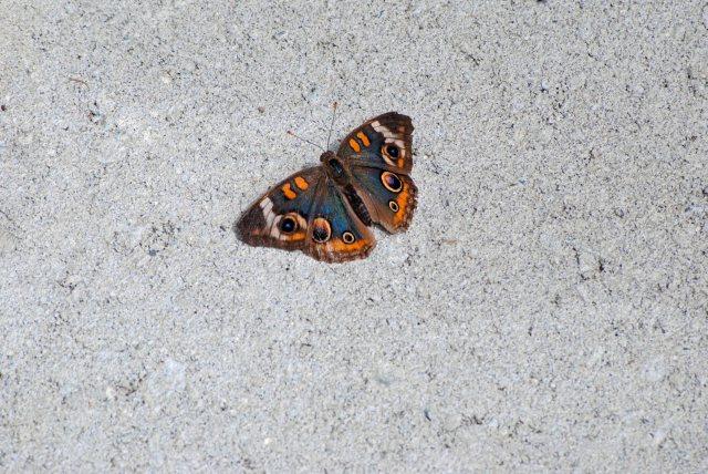 Butterflies cape Cod Canal 018 copy