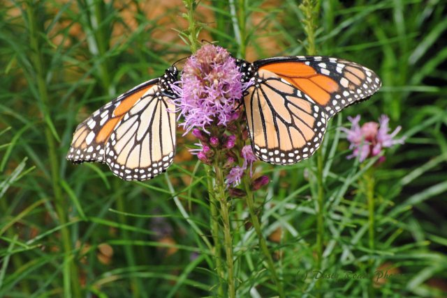 Butterflies cape Cod Canal 024 copy