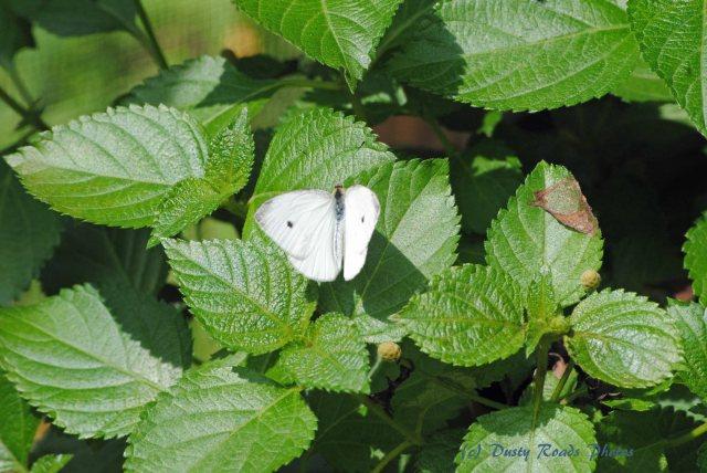 Butterflies cape Cod Canal 031 copy