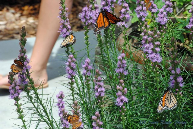 Butterflies cape Cod Canal 037 copy