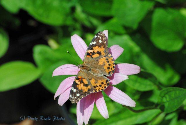 Butterflies cape Cod Canal 041 copy