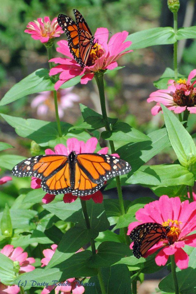 Butterflies cape Cod Canal 044 copy