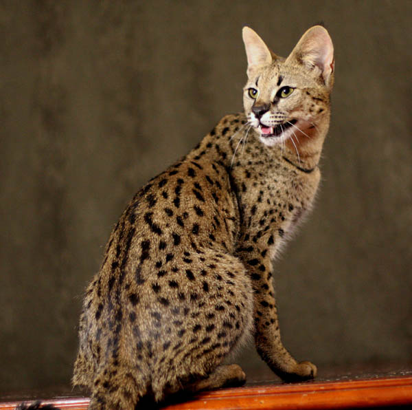 savannah_cat_2