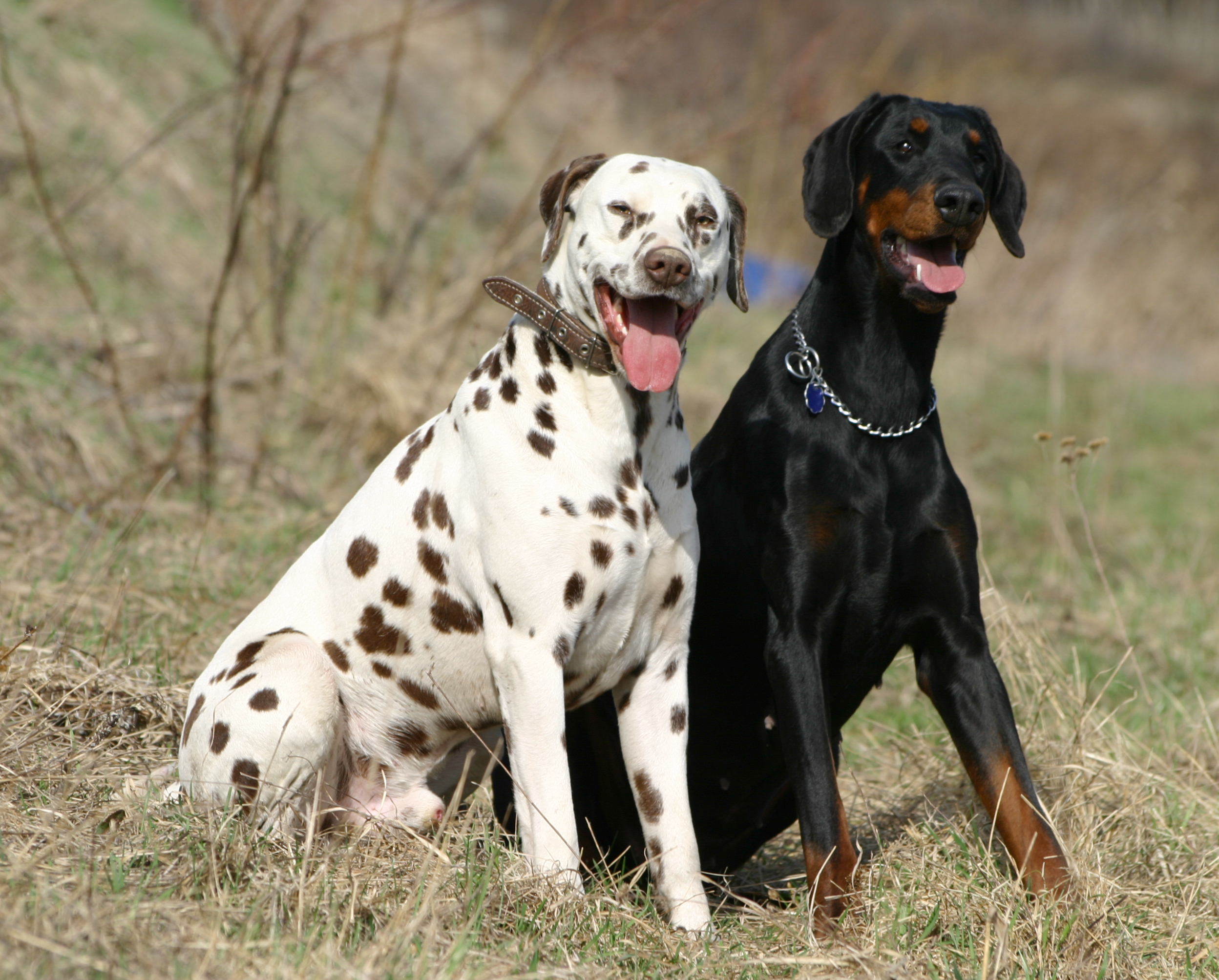Dalmatian_and_Dobermann