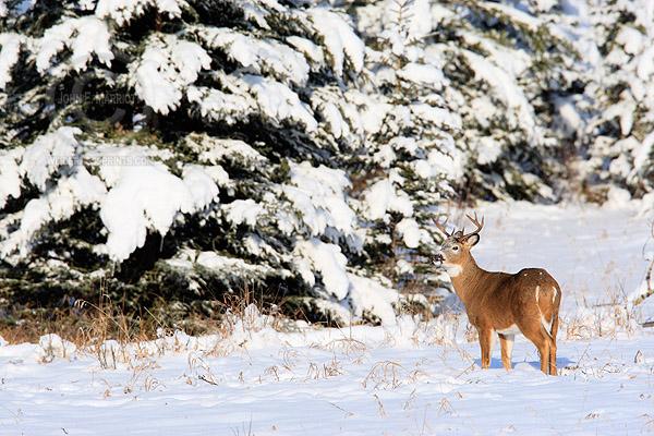 White-tailed deer buck in Kananaskis Country, Alberta, Canada