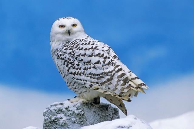 snowy_owl-other