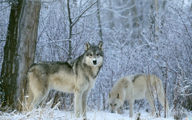 winter_wolves_1920x1200