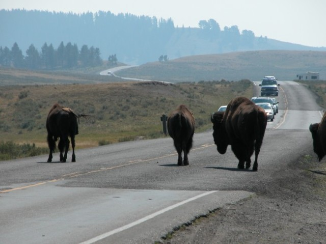 Yellowstone-Bison-Fleeing-Leads-to-Suspicion-of-an-Eruption-Video-650x487