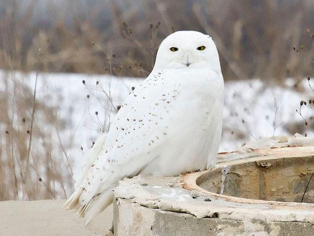 male-snowy-owl