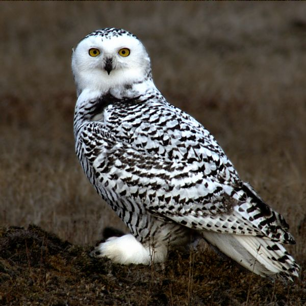 Snowy_Owl_Barrow_Alaska