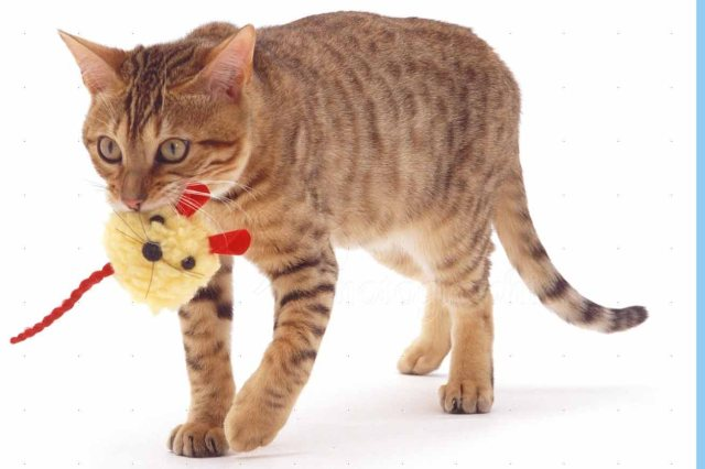 Brown Spotted Bengal catten carrying a retrieve toy.