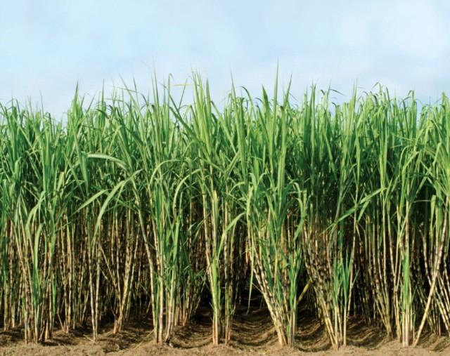 sugarcaneplant