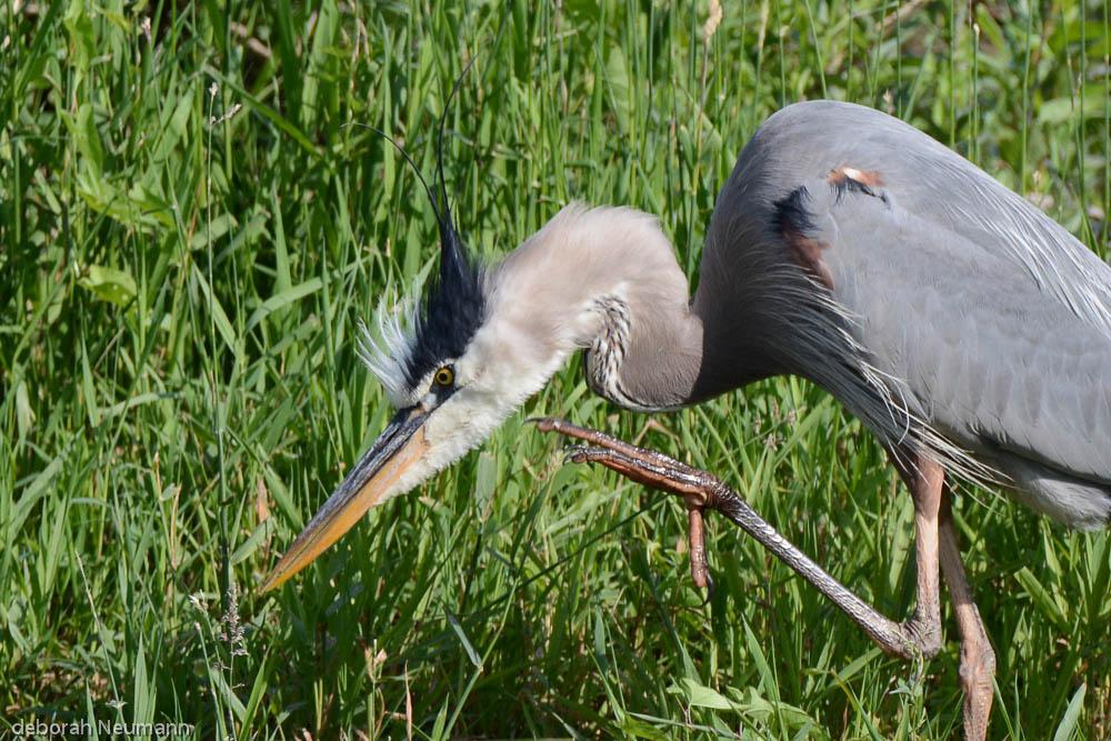 Great Blue Heron, Herring Run , Middleboro, MA