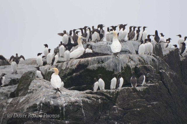 Gannet & Seal copy