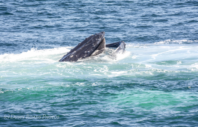 Baleen - Stellwagon Banks, Massachusetts Bay, MA