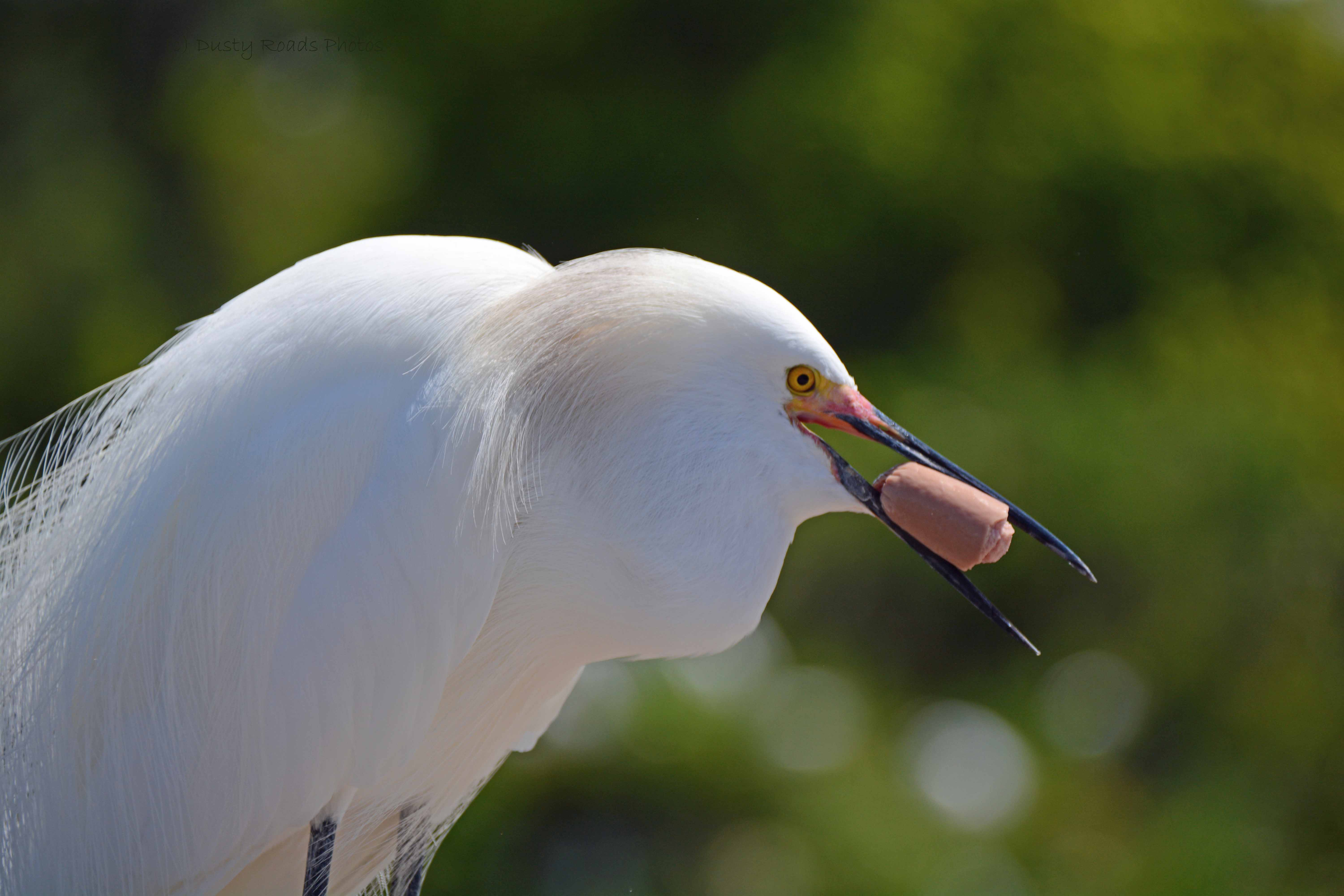 Hungry Egret with Hot Dog, Orlando FL